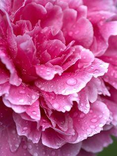 Pink Peony ...via hgtv