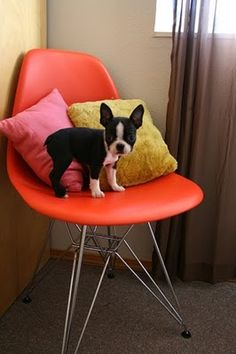 Not sure why I am so obsessed with boston terriers! I think they are so cool looking. Maybe cause my great grandmother was a bostie breeder.