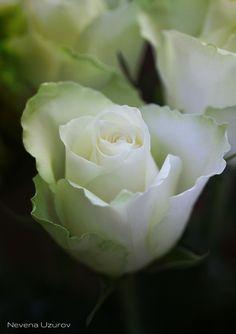 https://flic.kr/p/hqAc5P   Nevena Uzurov - Delicate petals