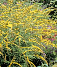"""Solidago, Fireworks... """"Sensational display of tiny, yellow cascading flowers. Solidago rugosa Fireworks can make the back of your border a focal point with a sensational display of yellow cascading flowers from late summer to frost. Gorgeous in the garden with sedum Autumn Joy and blue asters. Foliage turns bronze when stems appear."""" #DeerResistant"""