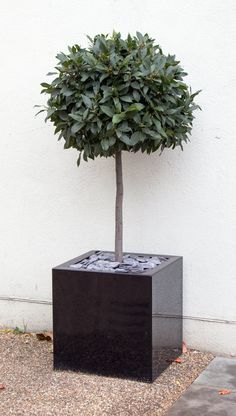 Sweet Bay Leaf Tree for the patio Bay Trees In Pots, Potted Trees Patio, Topiary Plants, Topiary Trees, Patio Plants, Outdoor Pots, Outdoor Gardens, Olivier En Pot, Bay Leaf Tree