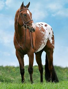 Appaloosa stallion, Red Hot N Blazing. photo: Leslie Towne.