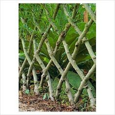 Living willow has long been used for fencing. Once developed it makes a very strong and effective barrier for animals, because when willows are planted close to one another and twined together they will actually graft into one another.