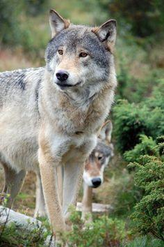 wolveswalkingintheforest: Wolves of Langedrag by CanicularDays on deviantart.com