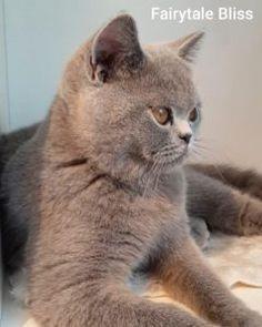 Pisici British Shorthair – Pui british shorthair British Shorthair, Bugatti, Panther, Fur, Cats, Animals, Saint Petersburg, Gatos, Animales