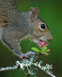 "(c) Tara Tanaka - Gray Squirrel with Crab Apple blossom - Winner in 2013 Nature's Best Photography Magazine ""Nature's Best Backyards"" contest N Animals, Wild Animals, Photography Photos, Photography Magazine, Wildlife, Safety Training, Creatures, Backyard, Squirrels"
