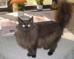 Black Norwegian Forest Cat. Looks just like my Romeo.