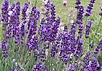 High Quality Lavender Candle Making Fragrance Oil - 30ml