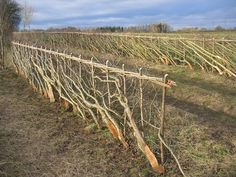 """Laying a hedge"" is the 2,000+ year-old method of chain link fencing, except the fence is alive. Some hedges alive today in the UK were laid before the Dark Ages! ""A living hedge not only keeps livestock fenced but also prevents soil erosion and water runoff. Living hedges are good wind blocks and snow collectors as well as habitat to birds, insects and small mammals. ""  Here is a nice tutorial on how to lay a hedge, including many photos of living hedges and how-to drawings"