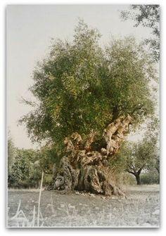 """""""L'olivo della strega"""" (Witch olive tree) in Magliano in Toscana  #maremma #tuscany #nature"""