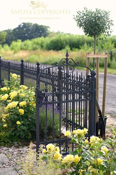 """Where the mists and roses live"" Iron fence with China Girl rose"