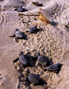 Tybee Island, GA Witness the baby loggerhead sea turtles hatch and head for the sea.  Someday I will see this in person!