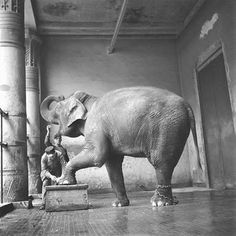 cleaning takes a while....  (antwerp zoo archive)
