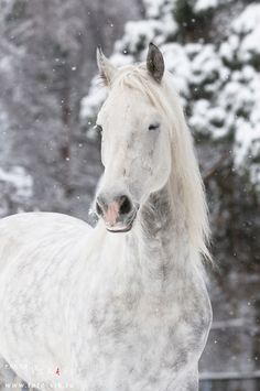 "Azteca horse Pura Raza Espanola Dapple grey horse with it""s eyes closed in the snow Yeguada Herrera Caballos Espanoles Caballos Bailadores Andalusian Lusitano Lippizzaner spanish horse Piccador Vaquero Charro"