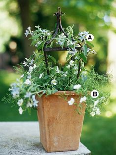 Container Gardening  Use Fine Textures  The Southern star is an underused but great annual that works well twining around the metal support. The nirembergia creates a nice skirt to soften the edges of the container.  A. Southern star (Oxypetalum caeruleum) -- 2   B. Nirembergia 'Mont Blanc' -- 2