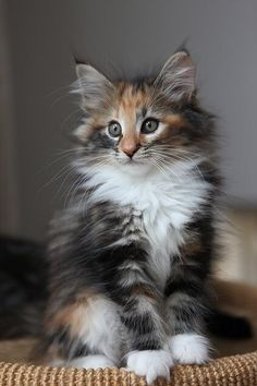 Adorable kitten of the Norwegian Forest Cat, posted via adorablekittens. - Adorable kitten of the Norwegian Forest Cat, posted via adorablekittens. Pretty Cats, Beautiful Cats, Animals Beautiful, Cute Animals, Animal Fun, Animals Dog, Funny Animal, I Love Cats, Crazy Cats