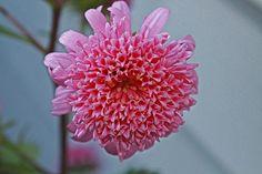 Pink Callistephus Chinensis