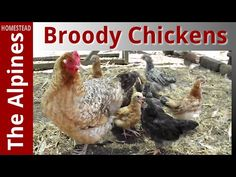 Broody Bantam chickens on eggs
