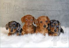 Four Dachshund Puppies Image