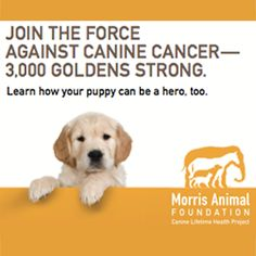 The Golden Retriever Lifetime Study aims to learn how to prevent cancer in dogs. The study will be the longest and largest study ever conducted for dogs and will focus on four deadly cancers. We're recruiting 3,000 purebred Golden Retrievers to help. Will you check it out?