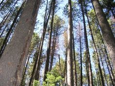 Mountain pine beetle blight creates air pollution in forests