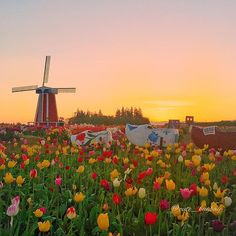 Sunrise at Wooden Shoe Tulip Farm - Oregon ✨🌷🌷🌷✨ Napoleon Hill, Transformers, Wooden Shoe, Wonderful Places, Travel Inspiration, Travel Destinations, Places To Go, Sunrise, Around The Worlds
