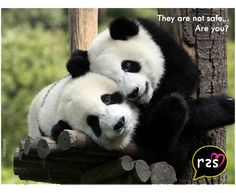 #Panda has become #endangeredspecie. Let us not allow unsuspecting #civilians to become #endangered at the hands of #criminals and #antisocialelements. Watch out for #r2sm a #personalsecurityapp that will #empower the weak and vulnerable…. Visit www.rush2saveme.com ET NOW TIMES NOW CNBC DDNewsLive Vogue The Verve SAB TV COLORS TV #safetyapp #Mobileapp #Security #zeenews #ndtv #ajtak #timesnow #indiatv #nature #Wildlife #bear #r2sm 