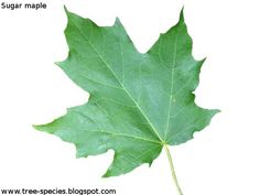 Leaf Comparison With Sugar Vs Norway Maple Dendrology - Norway maple vs sugar maple