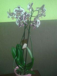 Další přírůstek do sbírky orchidejí