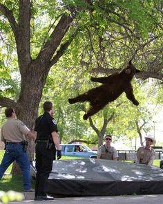 Verdoofde beer valt uit boom op het terrein van de universiteit van Colorado
