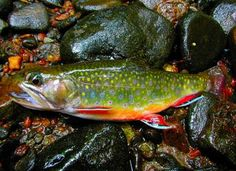 Brook Trout.     Google Image Result for http://www.highcountryphotos.com/cache/appalachian-mountain-photography-competition/2008/flora-and-fauna/200802091239.jpg_w400.jpg