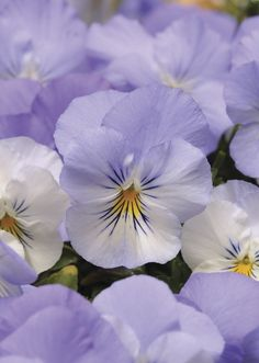 Frost Coolwave Series Pansy - Veseys - Frost Coolwave is the best spreading pansy and is so easy to grow with its vigorous growth habit and tolerance to cool temperatures. The blossoms last throughout the season with very little maintenance and will delight you with their beautiful bright colours and cheery happy faces. These plants can be grown as a ground cover in your garden or will fill any hanging basket or container. Approx. 10 seeds/pkg. start seeds early spring in house. Annual