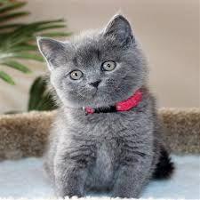 sad gray scottish fold cat scottish fold. Black Bedroom Furniture Sets. Home Design Ideas