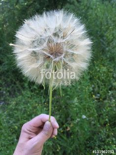 """Download the royalty-free photo """"Dandelion flower on a hand"""" created by Ciaobucarest at the lowest price on Fotolia.com. Browse our cheap image bank online to find the perfect stock photo for your marketing projects!"""