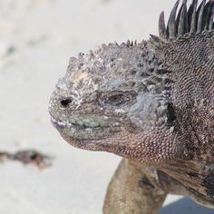 The marine iguana is an iguana found only on the Galápagos Islands that has the ability unique among modern lizards to forage in the sea making it a marine reptile. The iguana can dive over 30 feet into the water. #ExploreMore   #adventure #adventurelife #travelgram #instatravel #wanderlust #doyoutravel #bestvacations #ourplanetdaily #travelbug #outdoorlife #gooutandplay #iguanas #iguana #lizards #lizardsofinstagram #galapagos #galapagosislands  #explorer