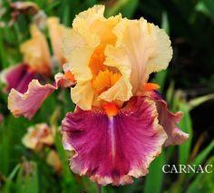 TB Iris germanica 'Carnac' (Madore, 2005)