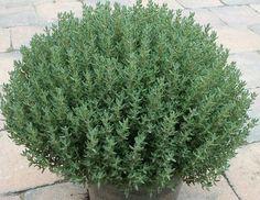 P-Thymus vulgaris 'Compactus'