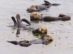 """dailyotter: """" A Raft of Sea Otters Have a Lazy Morning Via Ingrid Taylar """""""