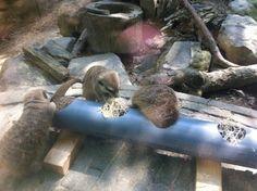 Meerkat enrichment