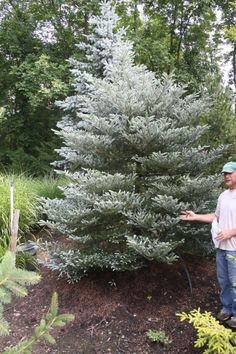 Abies koreana Silver Show: Pyramidal conifer similar to Abies Silberlock but brighter in hue and more dwarf. Has needles that are curled upward, showing their frosty silver undersides. Evergreen Garden, Evergreen Trees, Trees And Shrubs, Abies Koreana, Privacy Landscaping, Plant Catalogs, Water Collection, Farm Gardens, Growing Tree