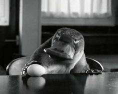 "Read more: https://www.luerzersarchive.com/en/magazine/commercial-detail/first-direct-bank-52930.html First Direct Bank First Bank: ""A Platypus Walks Into A Bar"" [01:00]# Meet Barry, a platypus taking a stroll through his neighborhood. The CGI character took around ten weeks to create, and props including a cardboard cut-out and a stuffed otter were used in his place during filming for this First Direct (a UK bank) spot. Tags: JWT (J. Walter Thompson), London,Outsider, London,Dom & Nic,First…"