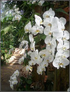 una cascata di orchidee bianche by marinablu ^_*, via Flickr