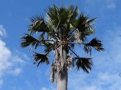 The Doum Palm (in Kiswahili: Mkoche) is very common in the coastal area of Tanzania. The leaves are used by the locals to braid carpets, baskets and ropes, while the monkeys enjoy the really hard fruits of the Mkoche trees