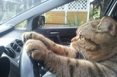 Toons' the driving cat #Ha!