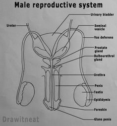 The male reproductive system consists of a number of sex organs that are a part of the human reproductive process. The sex organs which ar. Study Biology, Biology Lessons, Teaching Biology, Biology Drawing, Basic Anatomy And Physiology, Female Reproductive System, Nursing School Notes, Human Body Systems, Science Notes