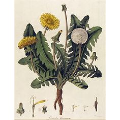 botanical-dandelion-engraving-hand-colored.jpg 768×768 pixels