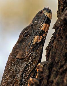 Goanna, Lace Monitor - lizard family by Stuart Rae. Monitor Lizard, Bee Eater, Australian Animals, Tyrannosaurus Rex, Reptiles And Amphibians, Predator, Insects, Paint, Lace