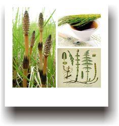 Plante medicinale – COADA-CALULUI Cactus Plants, Therapy, Varicose Veins, Cacti, Cactus