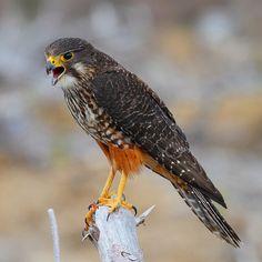 New Zealand Falcon (Falco novaeseelandiae) male, by Gavin Emmons