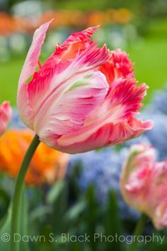 """""""Apricot Parrot Tulip"""" by Dawn Black - Giant Flowers, Tulips Flowers, Exotic Flowers, Large Flowers, Amazing Flowers, Spring Flowers, Beautiful Flowers, Exotic Birds, Colorful Birds"""